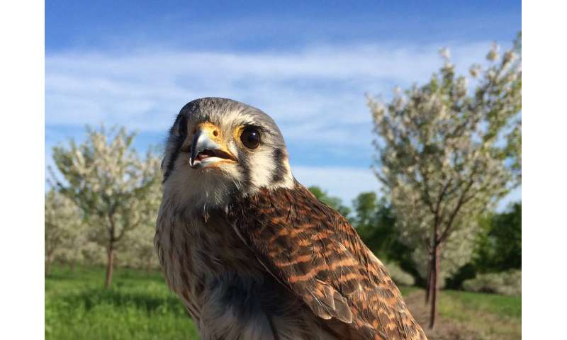 American kestrels, most common predatory birds in U.S., can reduce need for pesticide use