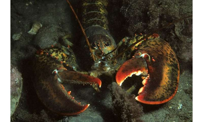 American lobsters feeling the heat in the northwest Atlantic