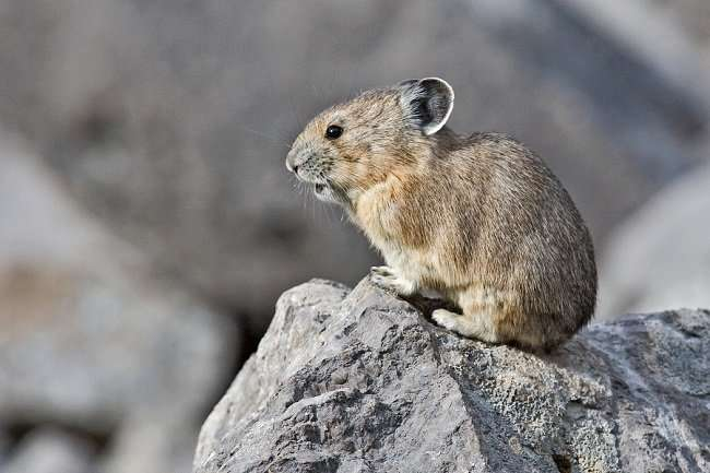American pikas tolerate climate change better than expected