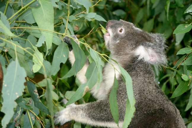 Ancient virus defends koalas against new viral attacks