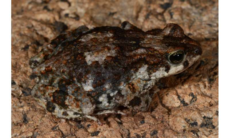 A new earless pygmy toad discovered on one of Angola's most underexplored mountains