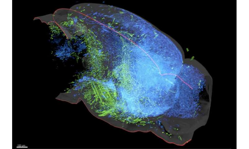 A new map of the brain's serotonin system