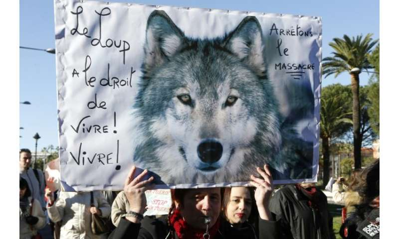 A new strategy unveiled by the French government  will enable the number of wolves to grow to 500 by 2023 compared with an estim
