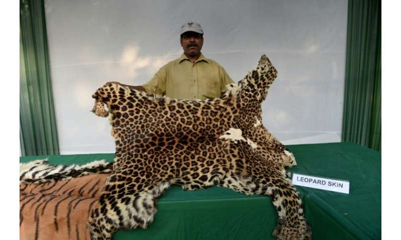 An Indian worker holds up a leopard skin, one of the many items being sold illegally online, in 2014