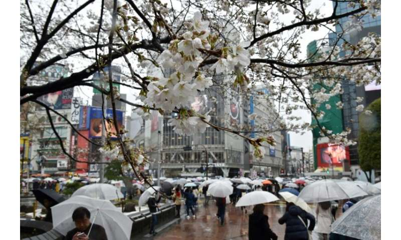 An invasive beetle is threatening Japan's cherry trees and their famed blossoms