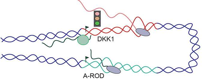 A non-coding RNA lasso catches proteins in breast cancer cells