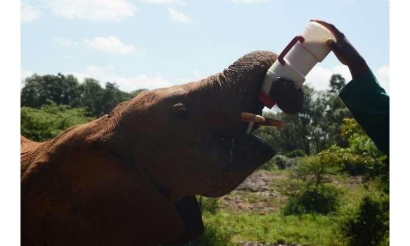 An orphaned baby elephants feeds on milk at the David Sheldrick Wildlife Trust in Nairobi