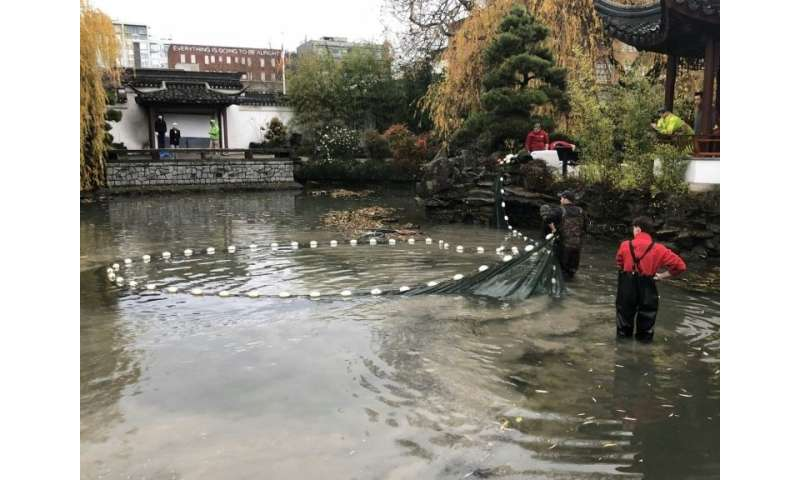 An otter's raids on this koi pond in Vancouver's Sun Yat-Sen Classical Chinese Gardenhunting ground has become an epic battle be