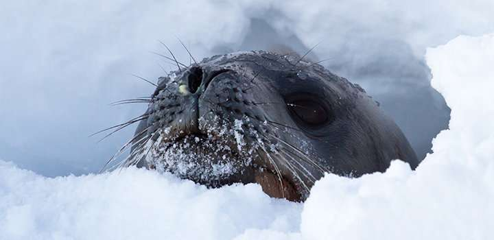 Antarctic seals can help predict ice sheet melt