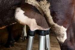 Antibiotic-free treatment of dairy cows underway