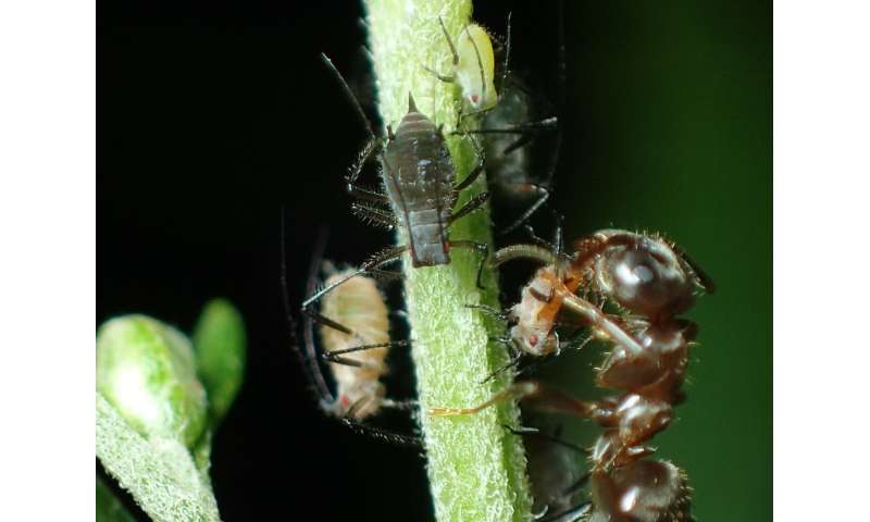 Ants—master manipulators for biodiversity, or sweet treats