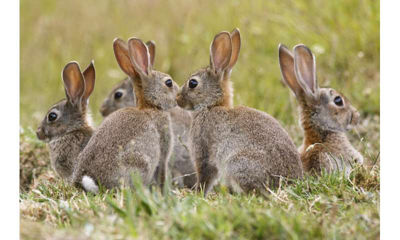A numbers game—killing rabbits to conserve native mammals