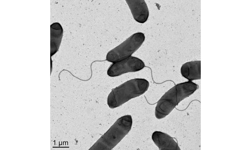 An unusual form of antibiotic resistance in pandemic cholera