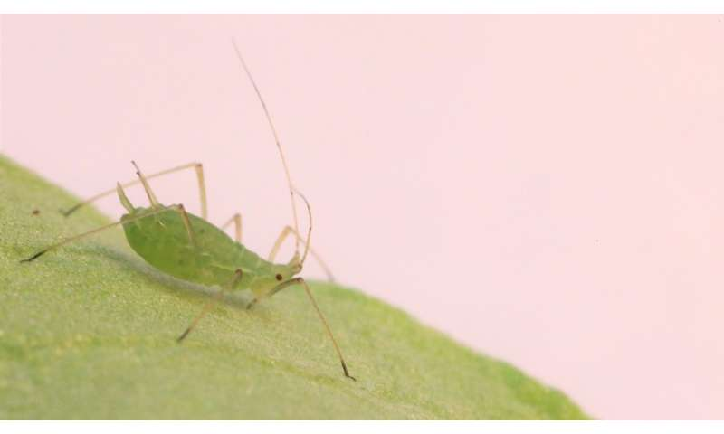 Aphids use sight to avoid deadly bacteria, could lead to pest control
