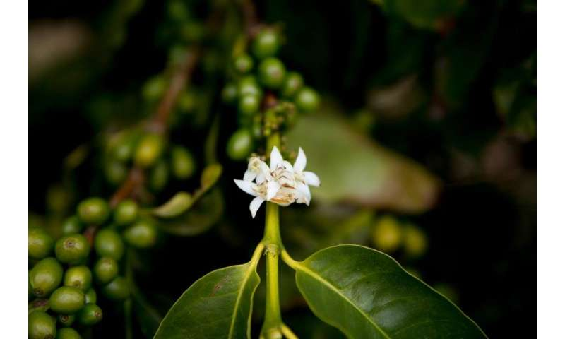 Arabica coffee genome sequenced