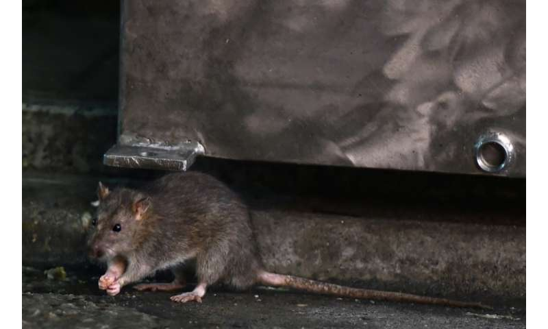 A rat near Tokyo's Tsukiji fish market, which is soon to close after 83 years—an event expected to unleash a mass exodus of tens