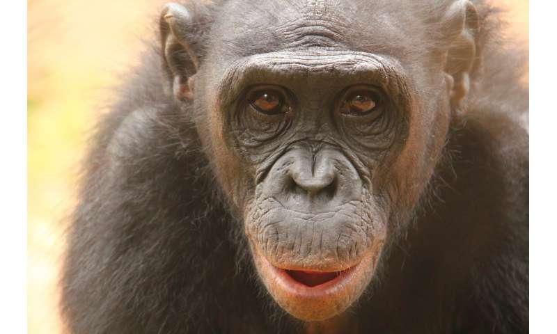 A sense of disgust in bonobos?