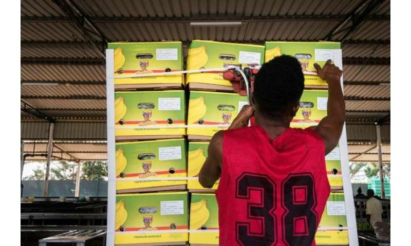 Se preparan diariamente hasta 4,000 cajas de bananas, con la mejor fruta destinada para el envío a mercados extranjeros.