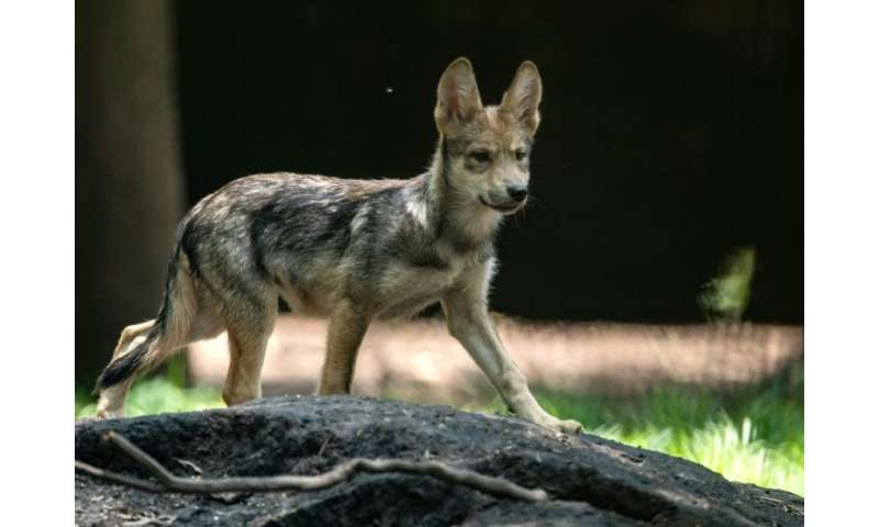 A three-month-old Mexican wolf (Canis lupus baileyi) at the Coyotes Zoo in Mexico City