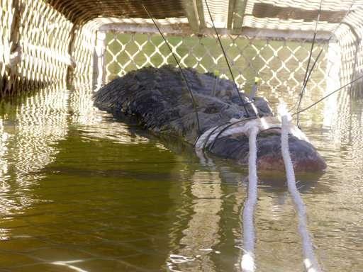 Australian rangers trap big crocodile near tourist gorge