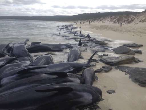 Australian volunteers save 5 of over 150 stranded whales