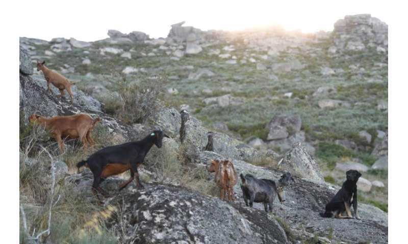 Authorities hope the firefighting goats will help stop blazes spreading from one forest to another and better contain any fires