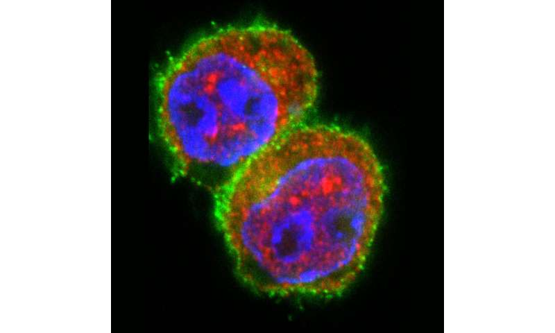 Autoimmune reaction successfully halted in early stage islet autoimmunity
