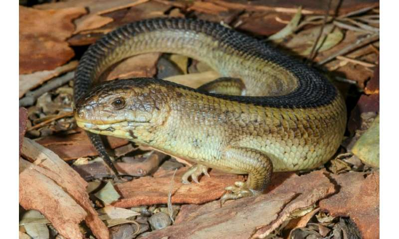 A yakka skink is pictured  in the Australian bush. The first national assessment on the monitoring of threatened birds, mammals,