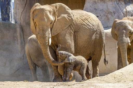baby elephant joins herd at san diego zoo safari park