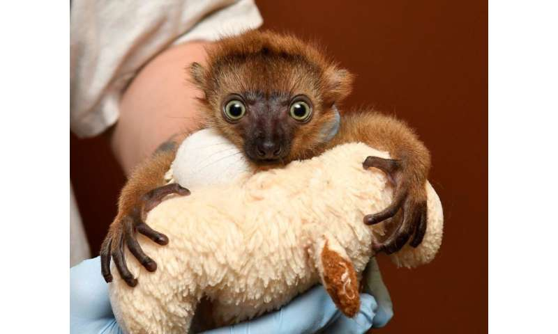Baby lemur born following rare C-section