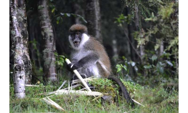 Bamboo-eating Bale monkeys could still be saved from extinction