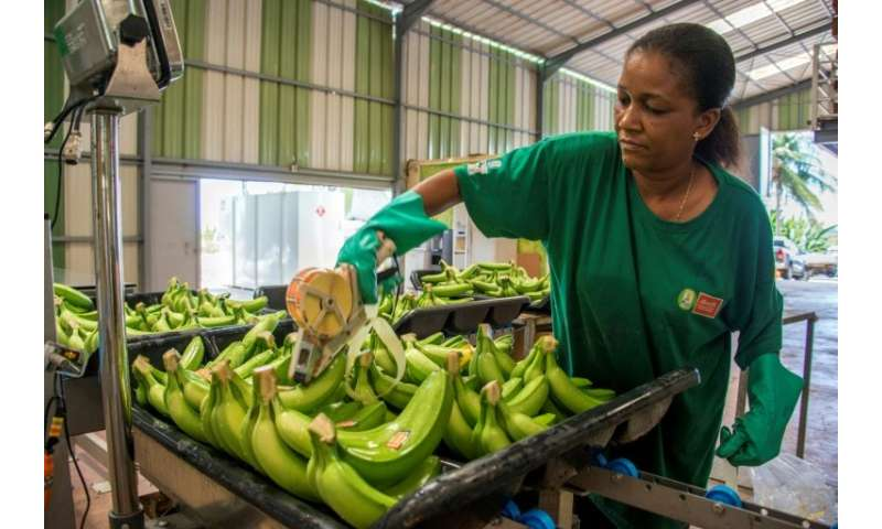 Bananas are Guadeloupe's main crop