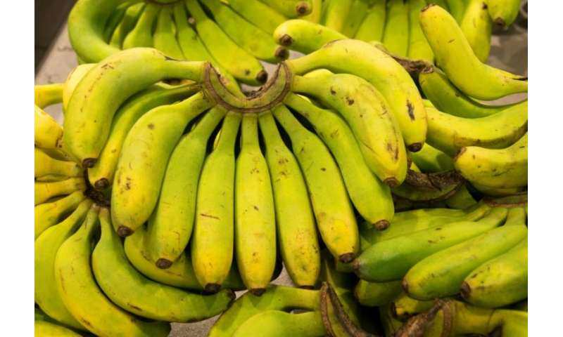 Bananas could hold the key to Guadeloupe's transition to ecological farming
