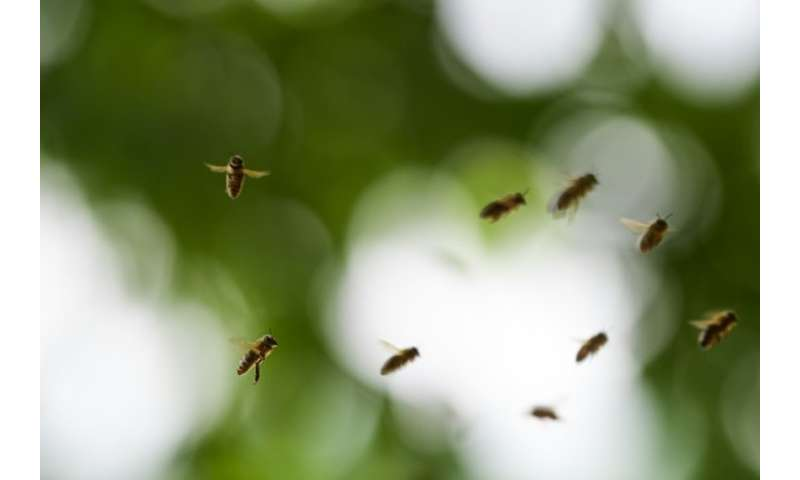 "Bees have been dying off around the globe from ""colony collapse disorder"", a mysterious scourge blamed partly on pesti"