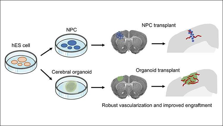 Better way to transplant human stem cells