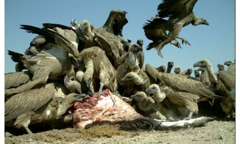 Big game hunters in Africa urged to drop the lead to help save vultures