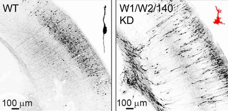 Bipolar structure for nerve cell migration