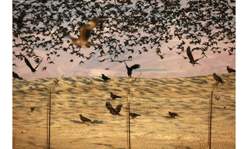 Black kites, pictured here with starlings, are among the birds seen in the West Bank