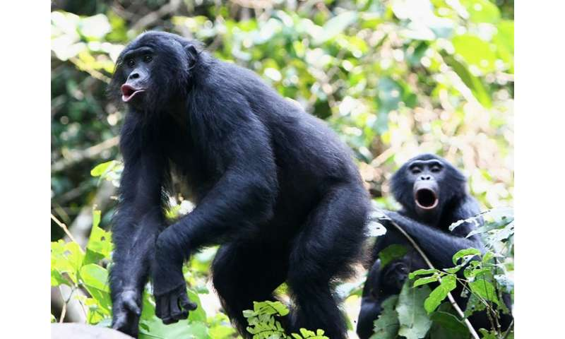 Bonobo: great ape with a tiny voice