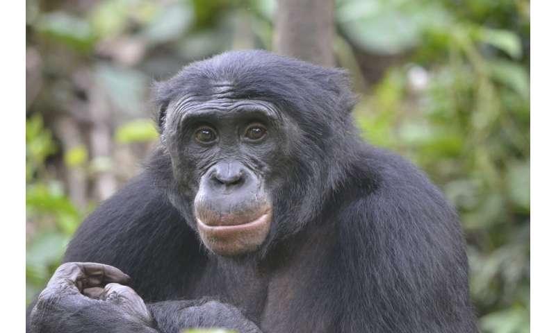 Bonobos prefer jerks