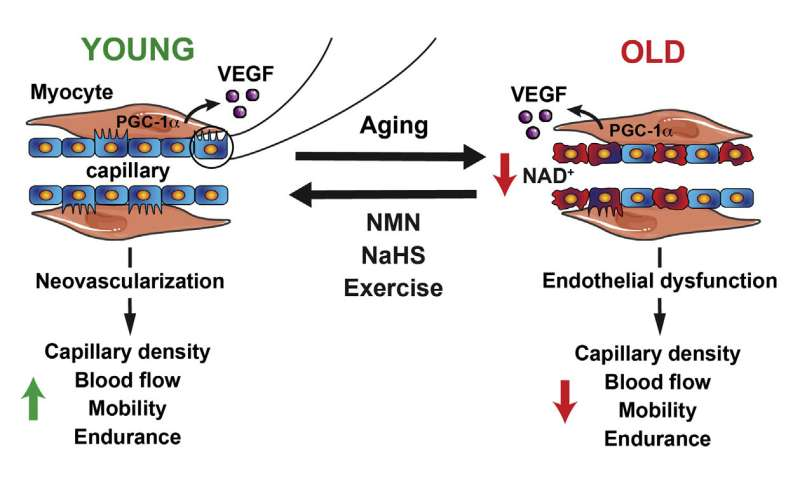 Boosting enzyme may help improve blood flow, fitness in elderly