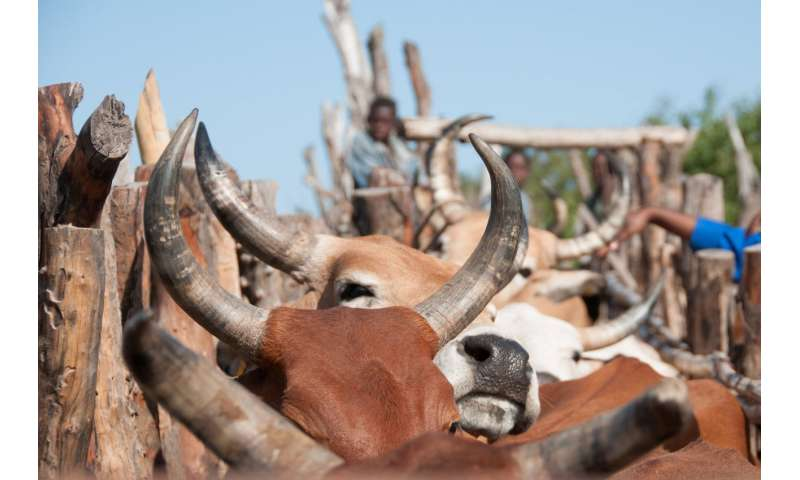 Bovine tuberculosis shows genetic diversity throughout Africa