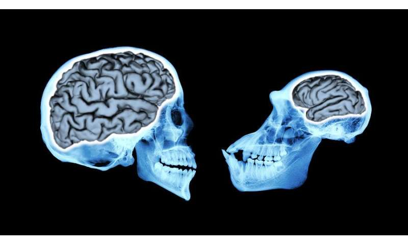 Brain size of human ancestors evolved gradually over 3 million years