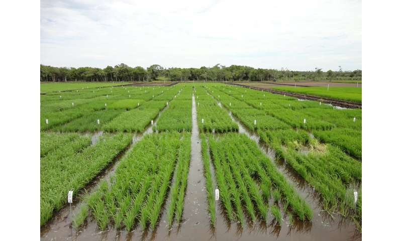 Breeding better Brazilian rice