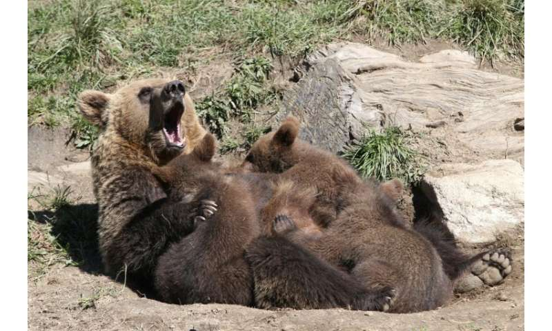 Brown bears were hunted to near extinction in the Pyrenees but there are now around 40 roaming the mountain range