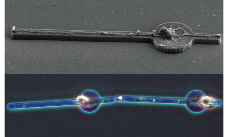 Building a brain, cell by cell: Researchers make a mini neuron network (of two)