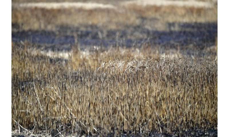 Burned wheat in a field near Magdeburg. Farmers say that when dry wheat burns like straw