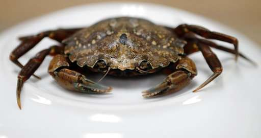 Canadian crabs with bad attitude threaten coastal ecosystem