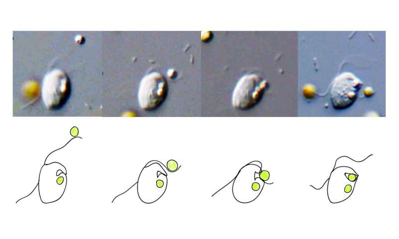 Can you eat cells? Computer model predicts which organisms are capable of phagocytosis