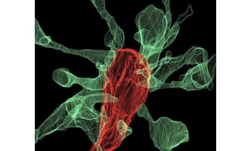 Captured on film for the first time: Microglia nibbling on brain synapses